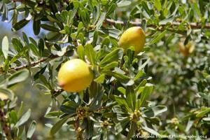 Argan frukt